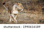 Lioness Female  Panthera Leo ...