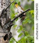 Small photo of Northern Flicker male bird close-up view perched on a branch by its nest cavity entrance, in its environment and habitat during bird season mating with blur green background. Flicker Image.
