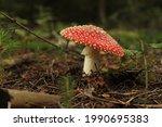 Nonedible Mushroom Amanita...