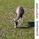 Blazed Antelope Grazing On...