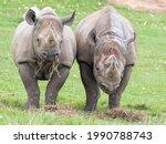 Pair Of Eastern Black Rhino's...