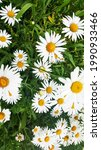 Small photo of Wild daisy flowers growing on meadow, white chamomiles on green grass background. Oxeye daisy, Leucanthemum vulgare, Daisies, Dox-eye, Common daisy, Dog daisy, Gardening concept.