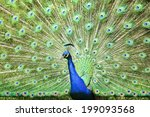 beautiful peacock spreads his... | Shutterstock . vector #199093568