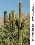 Saguaro Cacti With Unusual Side ...