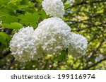 Balls Of White Hydrangea Flowers