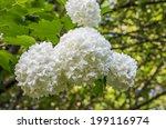 Balls Of White Hydrangea Flowers