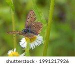 Copper Butterfly  Lycaena...