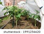 Red Tomatoes In Summer Garden....