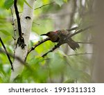 Small photo of Northern Flicker perched on a branch with green blur background in its environment during bird mating season. Flicker Image. Picture. Photo.