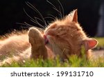Beautiful Ginger Cat Washes In...