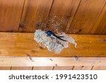 A Parent Swallow Bird Builds A...