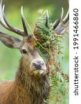 Portrait Of A Red Deer Stag...