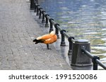 A Duck Stands On The Paved...