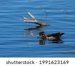 Wood Duck Swimming In A Clear...