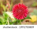 Gerbera Daisy Flower  Gerbera...