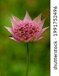 Astrantia Major L. Flower...