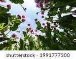 Field Of Red Violett Poppy...