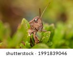 Wingless Grasshopper  Hughes ...
