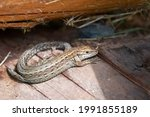 The Viviparous Lizard  Or...