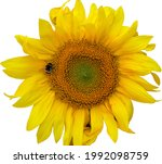Yellow Sunflower Flower Close...
