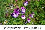 Wild Violet Viola Tricolor Or...