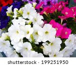 Colorful Petunia Flowers Close...