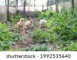 Three Yellow Baby Chicks Walk...