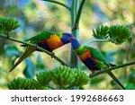 Two Colorful Rainbow Lorikeets...