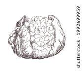 sketch of cauliflower contour... | Shutterstock .eps vector #1992699959