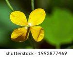 Yellow Greater Celandine ...