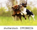 Stock photo two fun cavalier king charles spaniel dog and puppy running in summer nature 199288226