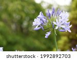 Agapanthus  African Lily   A...