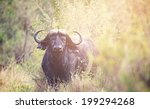 A Large Water Buffalo In The...