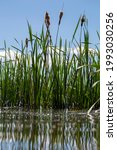 Bulrush Plants Reflected In The ...