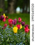 various tulips blooming in city ...   Shutterstock . vector #1993165520