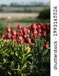 red tulips in summer garden ...   Shutterstock . vector #1993165526