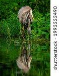 Great Blue Heron Preening In...