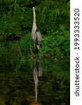 Great Blue Heron Perched In...