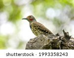 Small photo of Northern Flicker - A close-up and low-angle view of a male Northern Flicker perching in a Spring forest. Colorado, USA.