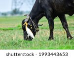 Cattle Egrets Are All White...