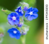 Small photo of A macro shot of some green alkanet blooms.