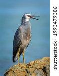 White Faced Heron Bird Standing ...