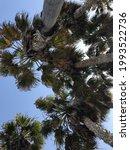 Veey Tall California Fan Palms...