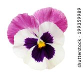 Pansy Flower Isolated On White...