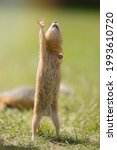 Small Gopher Rodent Raises Its...