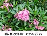 Oleander Rose Bay Flower With...