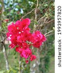 Bougainville Is A Perennial...