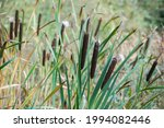 Cattail Or Bulrush Growing On...