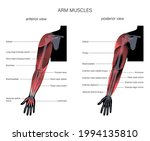 human biceps  triceps... | Shutterstock .eps vector #1994135810