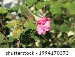 Blooming Bent Neck Pink Rose